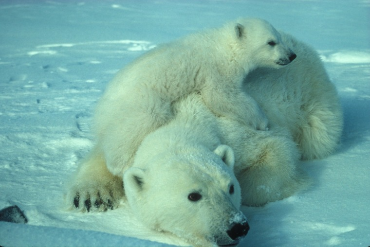 polar-bear-710165_1920